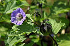 Nicandra (Nicandra physalodes) plant. The genus is named for Gr Stock Photos