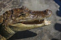 Nicaraguan Caiman crocodilus head also known as cuajipal. Nicaraguan Caiman crocodilus head,Granada, Nicaragua royalty free stock image