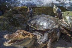 Nicaraguan Caiman crocodilus and turtles Royalty Free Stock Photos