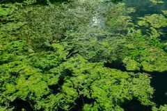 Nice abstract view of natural clear ocean water pond in tropical garden with seaweeds floating on water Royalty Free Stock Photo