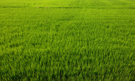 Nice agriculture background of a green rice paddy field with healthy young plants Stock Images