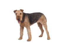 Nice airedale terrier breed dog Royalty Free Stock Photos