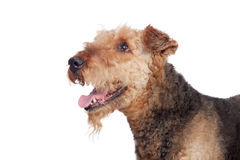 Nice airedale terrier breed dog Stock Image