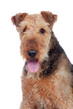 Nice airedale terrier breed dog Royalty Free Stock Photography