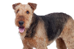 Nice airedale terrier breed dog Royalty Free Stock Photo