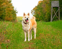 Nice akita dog Stock Photos