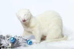 Nice albino male ferret in christmas style with decorations. Albino male ferret in winter christmas style posing in studio Stock Photography
