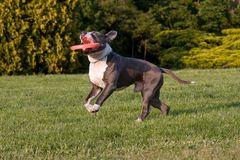 Nice American staffordshire terrie with  freesbee Royalty Free Stock Photo
