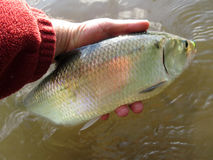 Nice Amerikaans Shad From Potomac royalty-vrije stock afbeelding