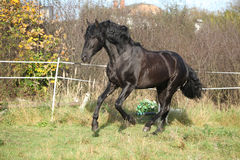 Nice andalusian stallion running on pasturage Royalty Free Stock Photography