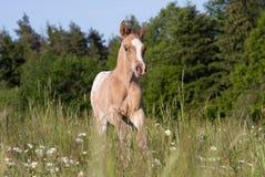 Nice appaloosa foal running Royalty Free Stock Image