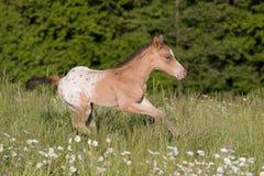 Nice appaloosa foal running Stock Image