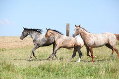 Nice appaloosa horses running on pasturage Stock Image