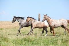 Nice appaloosa horses running on pasturage