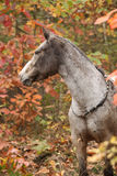 Nice appaloosa mare in autumn forest Stock Photo