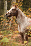 Nice appaloosa mare in autumn forest Royalty Free Stock Photo