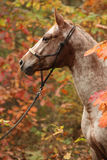 Nice appaloosa mare in autumn forest Stock Images