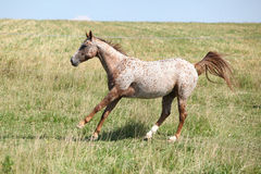 Nice appaloosa mare running Stock Photos