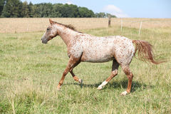 Nice appaloosa mare running Stock Photography