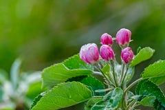 Nice apple flowers in springtime.  Royalty Free Stock Image