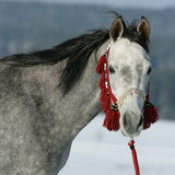 Nice arabian horse with beautiful show halter Stock Photos