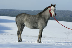 Nice arabian horse with beautiful show halter. In winter stock photos