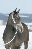 Nice arabian horse with beautiful show halter Stock Images