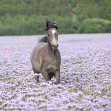 Nice arabian horse running in fiddleneck field Royalty Free Stock Photography