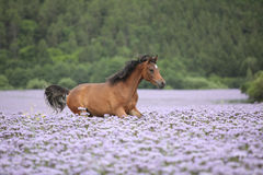 Nice arabian horse running in fiddleneck field Stock Image