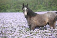 Nice arabian horse standing in fiddleneck field Royalty Free Stock Photo