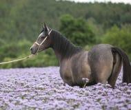 Nice arabian horse standing in fiddleneck field Royalty Free Stock Image