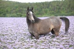 Nice arabian horse standing in fiddleneck field. Alone royalty free stock photography