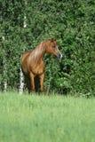 Nice arabian horse wit logn hair Stock Image