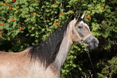 Nice arabian mare with show halter. In front of rowan tree Stock Image