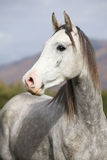 Nice arabian stallion with long mane in autumn Royalty Free Stock Photography