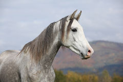 Nice arabian stallion with long mane in autumn Stock Photography
