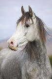 Nice arabian stallion with long mane in autumn Royalty Free Stock Photo