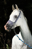 Nice arabian stallion with show halter. In front of black background Royalty Free Stock Photography
