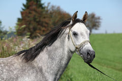 Nice arabian stallion with show halter Royalty Free Stock Photo