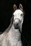 Nice arabian stallion with show halter. In front of black background Stock Photography