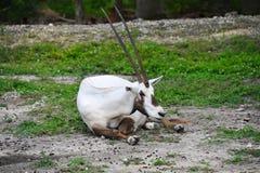 Nice Arabische Oryx een klein vermoeid beetje en hoogtepunt Stock Fotografie