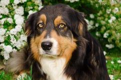 Nice Australian shepherd dog outdoors Royalty Free Stock Photos