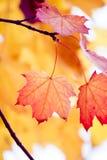 Nice autumn foliage. Nice red maple foliage in autumn Stock Photos