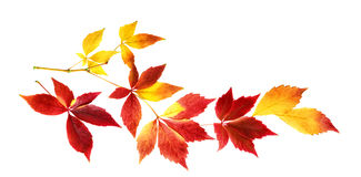 Nice autumn leaves on a twig, isolated Royalty Free Stock Images