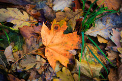 Nice autumn maple leaf Stock Photo