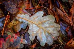Nice autumn oak leaf Stock Image