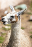 Nice baby lama portrait in Cusco, Peru Royalty Free Stock Photo