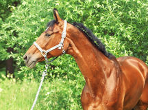 Nice bay gloss  sportive horse. Portrait of nice bay horse sunny day Stock Photos