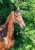 Nice bay gloss  sportive horse. Portrait of nice bay horse sunny day Stock Photo