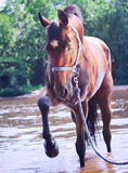 Nice bay mare in river. Portrait of beautiful bay mare in river outdoor sunny day Stock Images